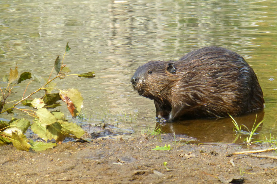 Le castor du Canada vit dans un environnement semi-aquatique