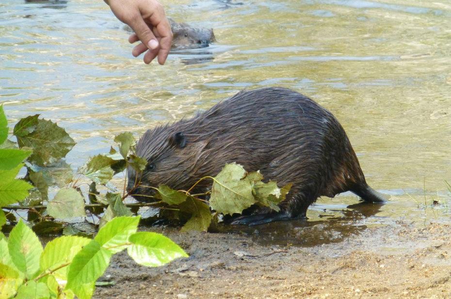 Le castor est un animal assez farouche