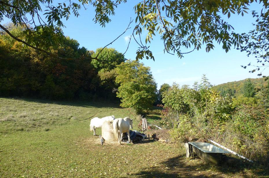 Chevaux blancs dans un pré près d'Ambérieu