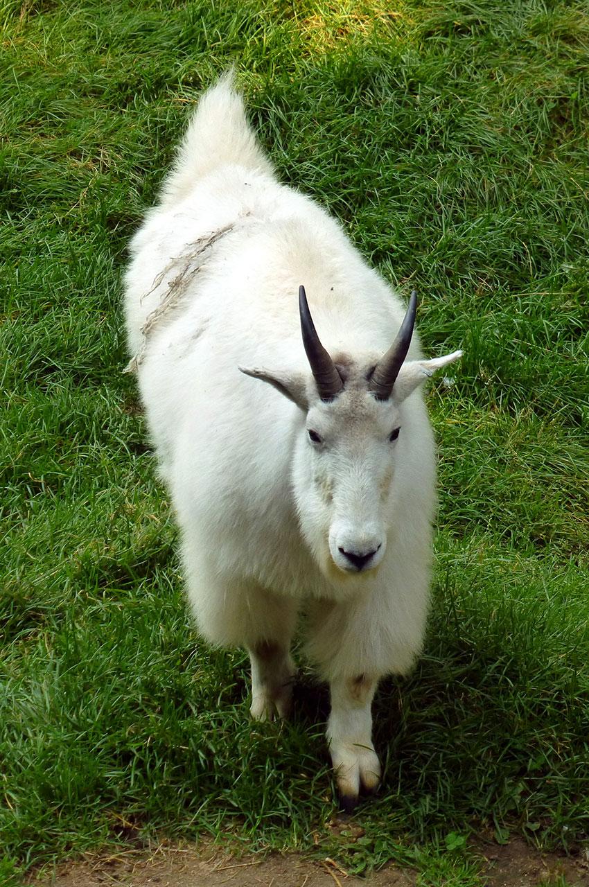 La chèvre des montagnes fait partie de la famille des bovidés