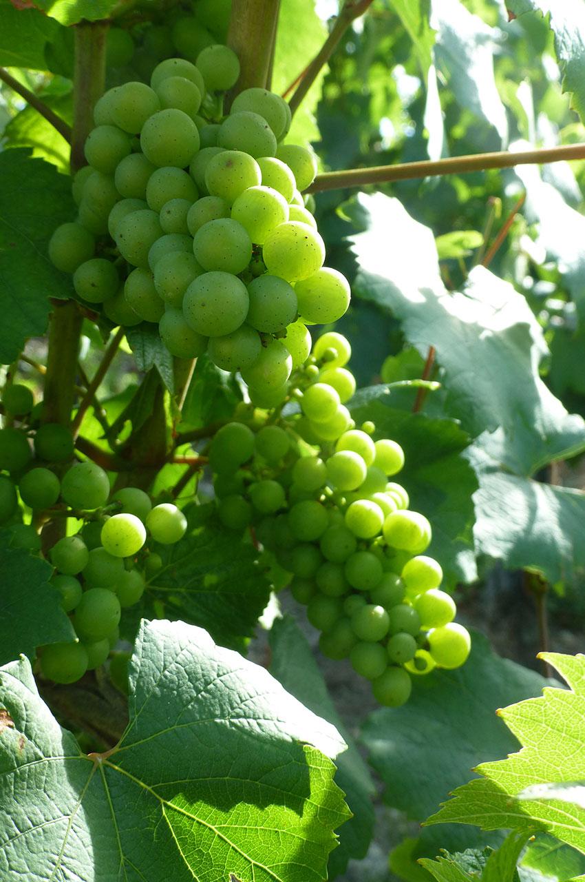 Grappe de raisin sur un pied de vigne