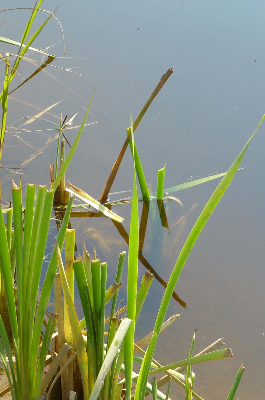 Herbes vertes au bord de l'eau
