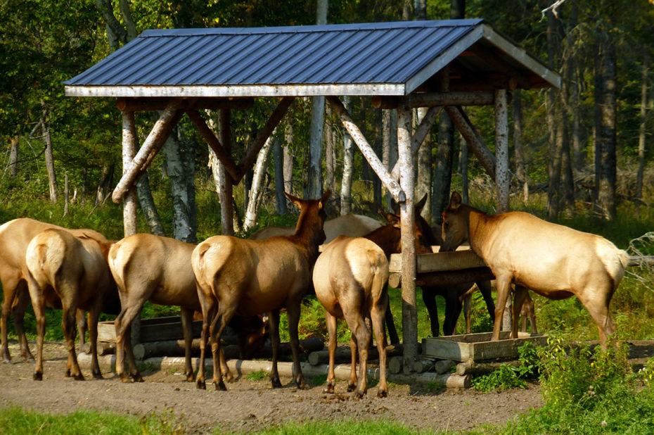 C'est l'heure du repas au zoo de Saint-Félicien
