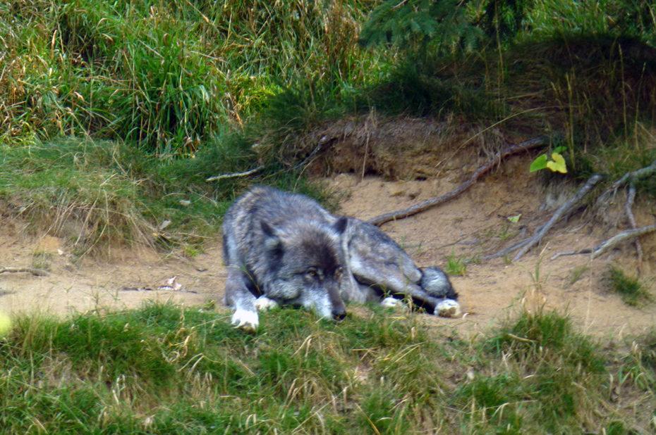 Le loup gris est carnivore mais a un régime alimentaire assez varié