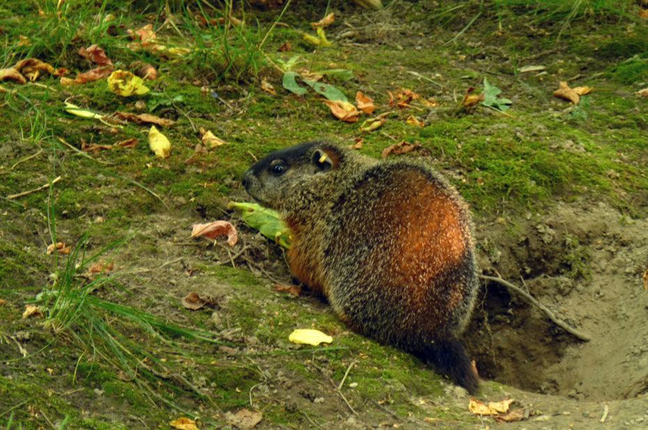 Une marmotte proche de son terrier