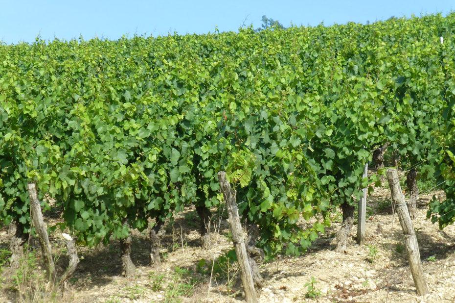 Les nombreuses grappes de raisin promettent une belle récolte 2017