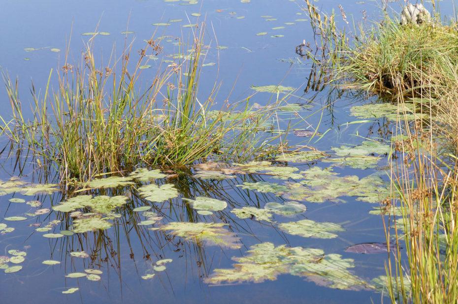 De nombreuses plantes vivent dans l'eau des lacs canadiens