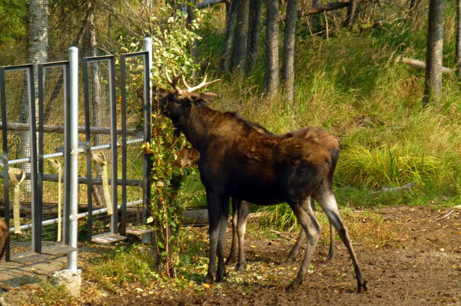 L'orignal est l'un des animaux-emblèmes du Canada