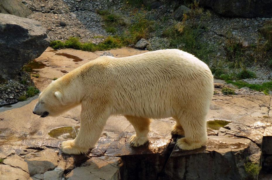 L'ours blanc est une espèce menacée par le réchauffement climatique