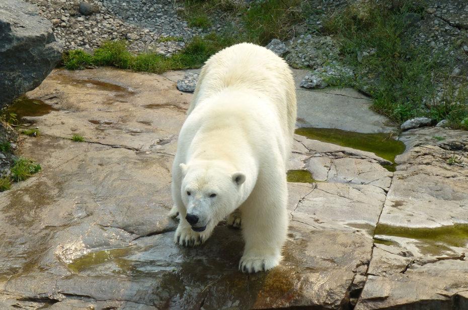 L'ours blanc, l'un des plus grands prédateurs terrestres