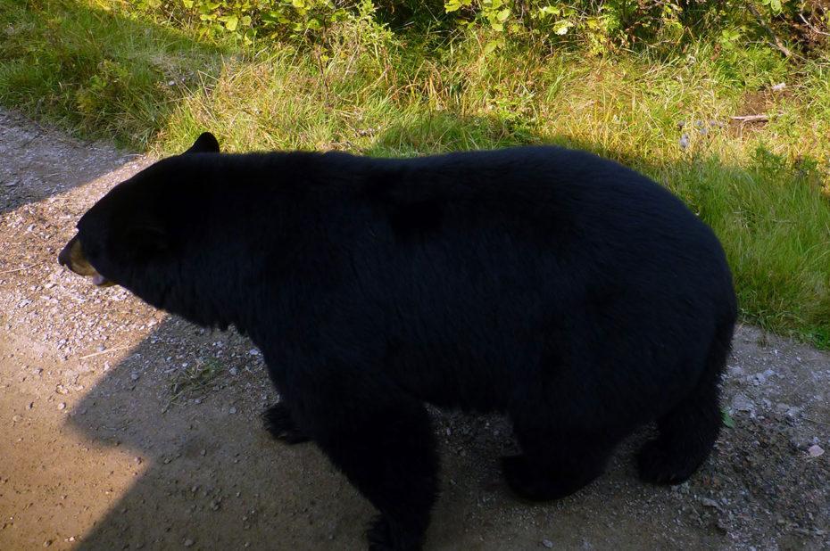 Un ours noir vu depuis le petit train