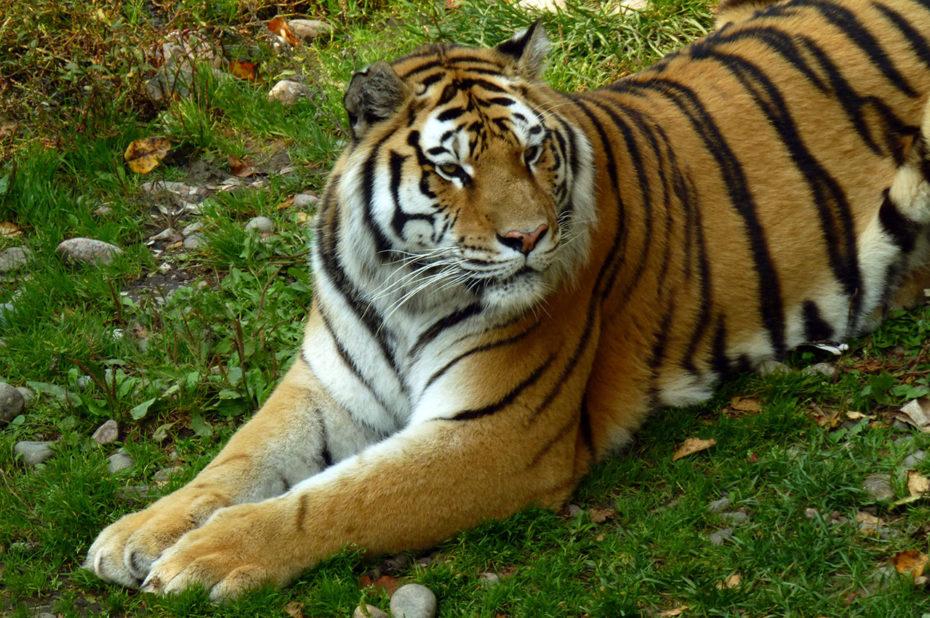 Le tigre de l'Amour peut vivre jusqu'à 15 ans