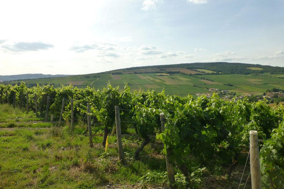 Vignes sur les hauteurs du village de la Roche-Vineuse