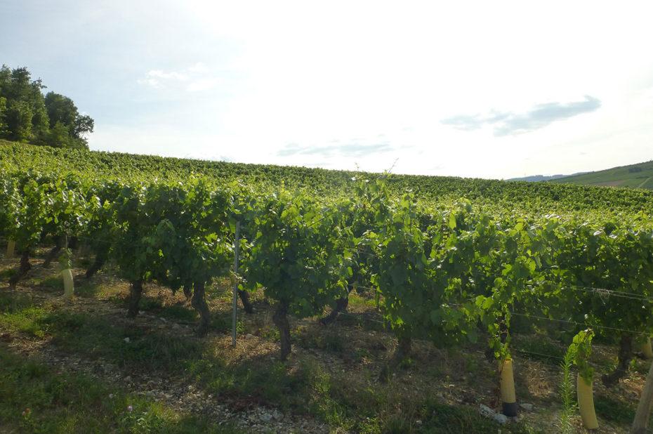 Les vignes du château de la Greffière dans le soleil du soir