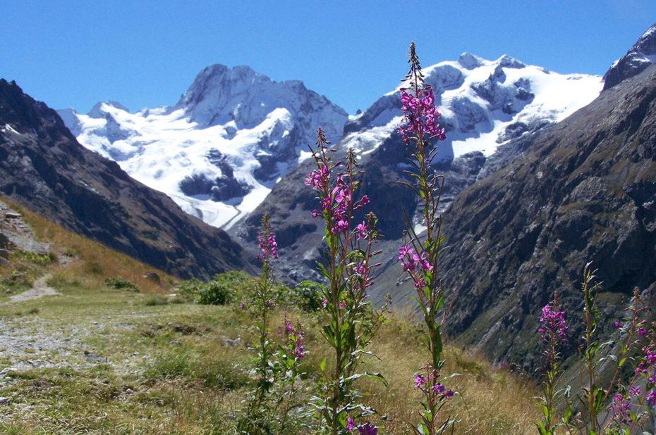 Des épilobes roses face à la montagne enneigée