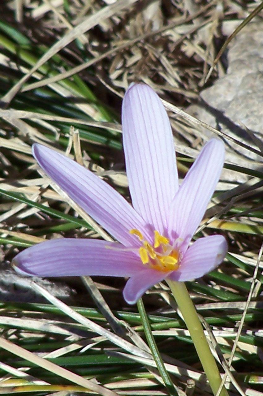 Le crocus fait partie de la de la famille des Iridaceae