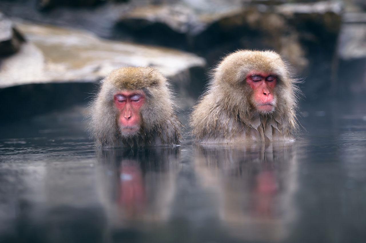 Macaques japonais dans l'eau fumante d'un onsen