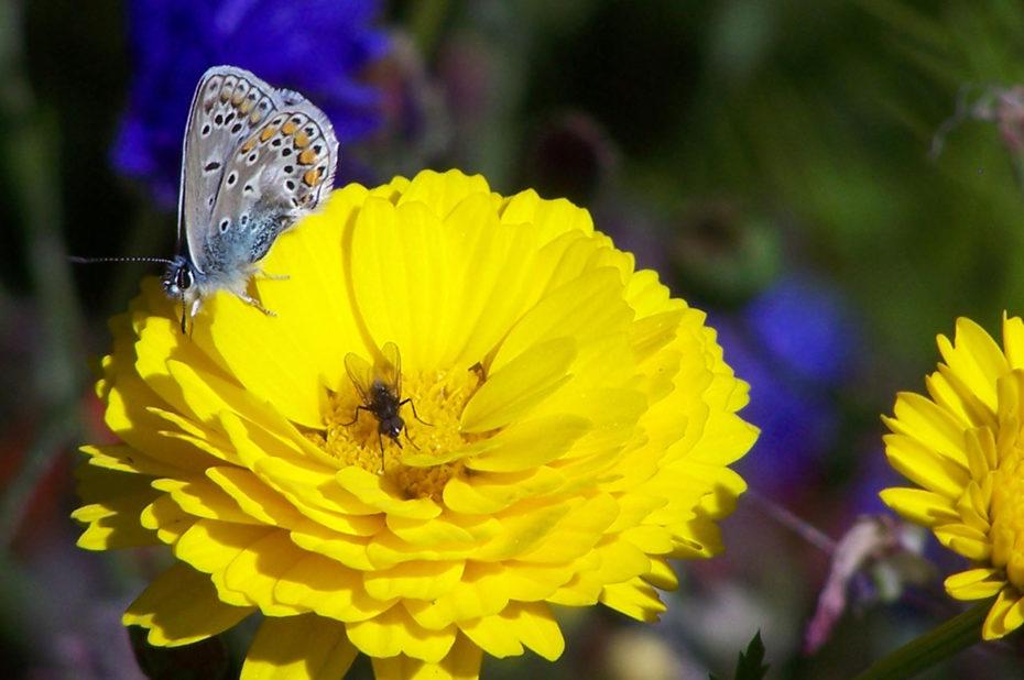 Mouche et papillon sur une fleur jaune