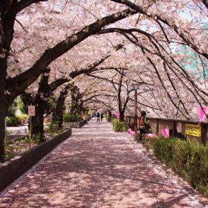 Les quatre saisons du Japon, les cerisiers en fleurs