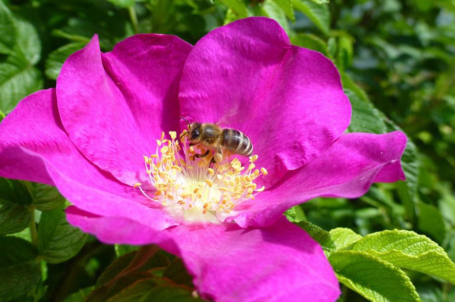 Une abeille butinant une belle fleur rose