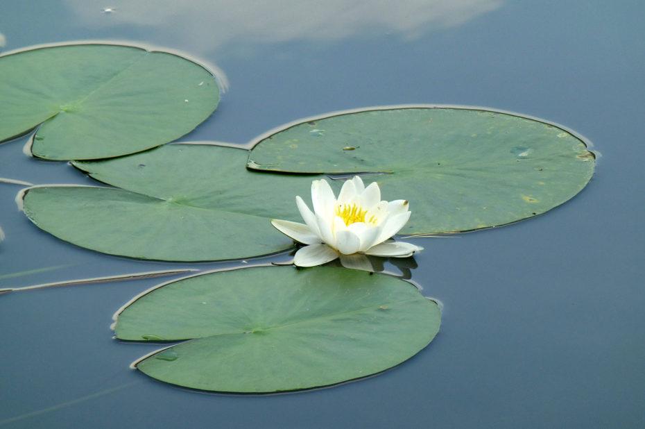 Fleur blanche de nénuphar à la surface du lac Weissensee