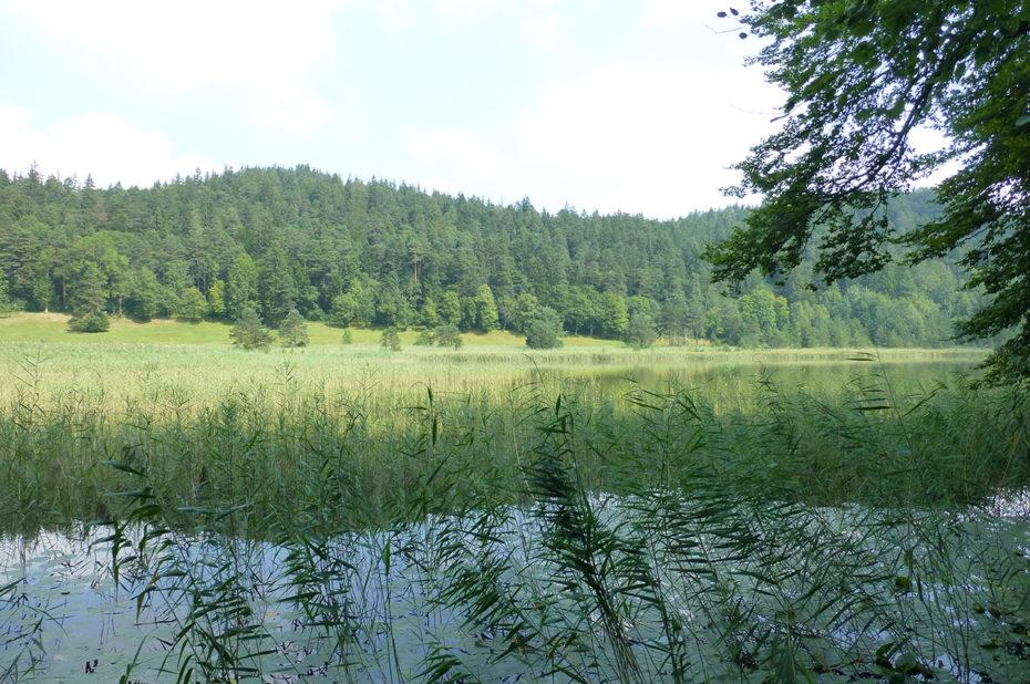 De nombreuses plantes d'eau à l'extrémité du lac Weissensee