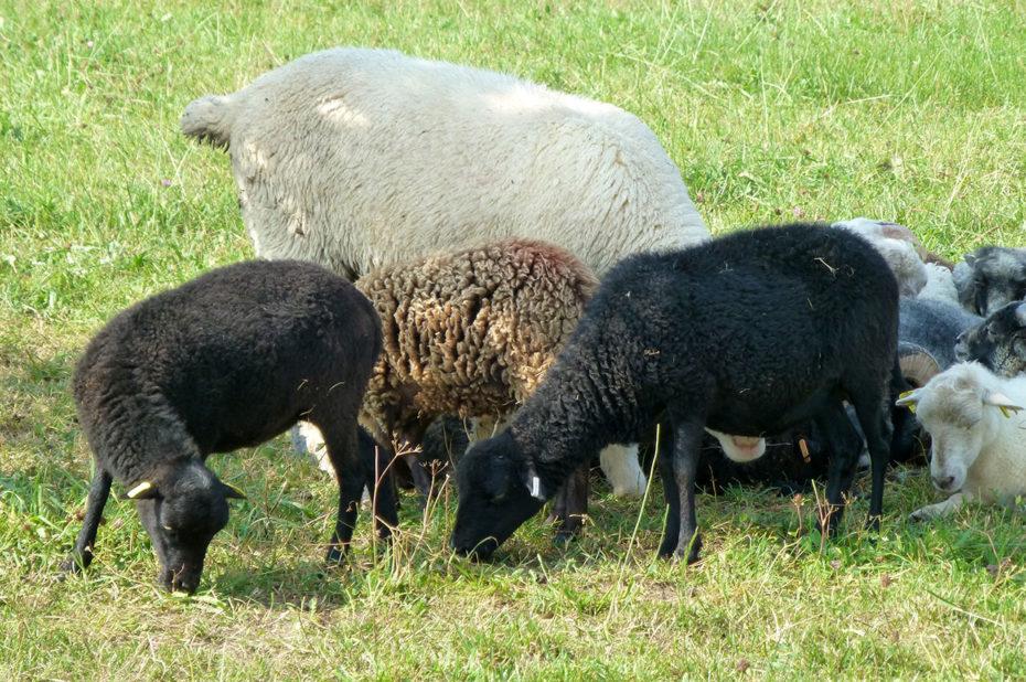 Troupeau de chèvres et de petits chevreaux