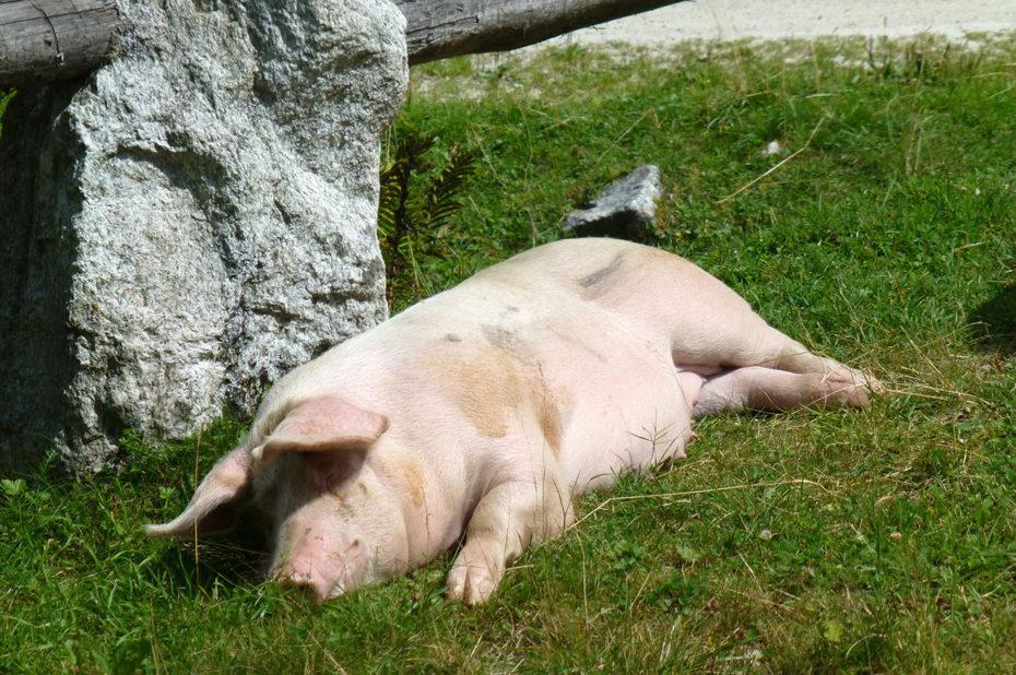 Une truie se repose tranquillement au soleil près d'Enzianhütte