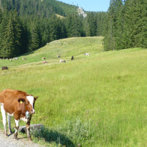 Une vache sur le bord de la route