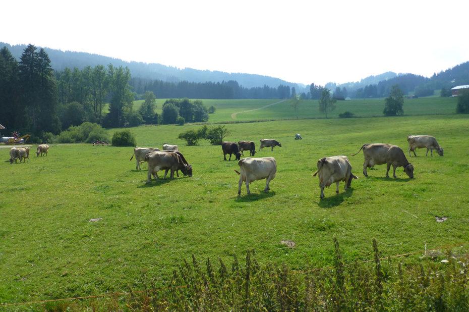Des vaches paissent paisiblement