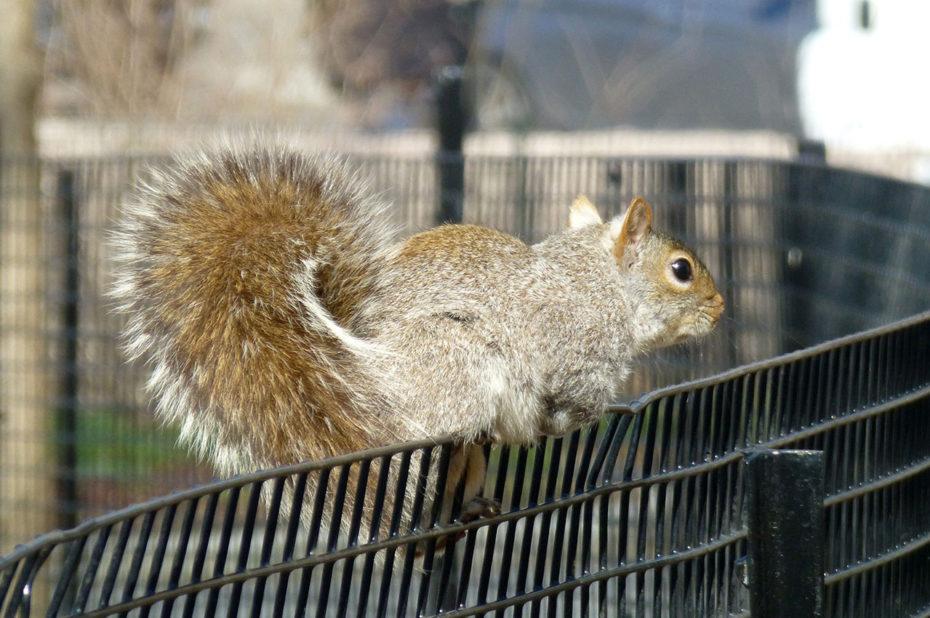 Un écureuil sur un grillage à Battery Park