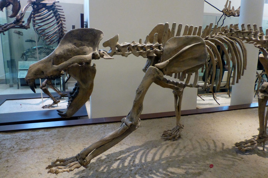 Amphicyon, aussi connu sous le nom de chien-ours