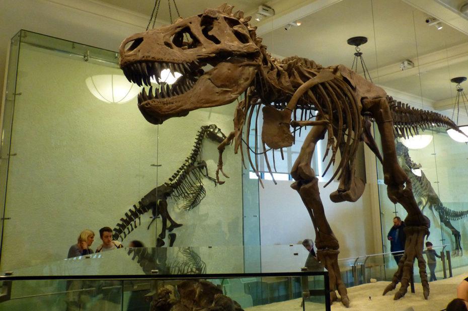 T-Rex, squelette de dinosaure au musée d'Histoire Naturelle