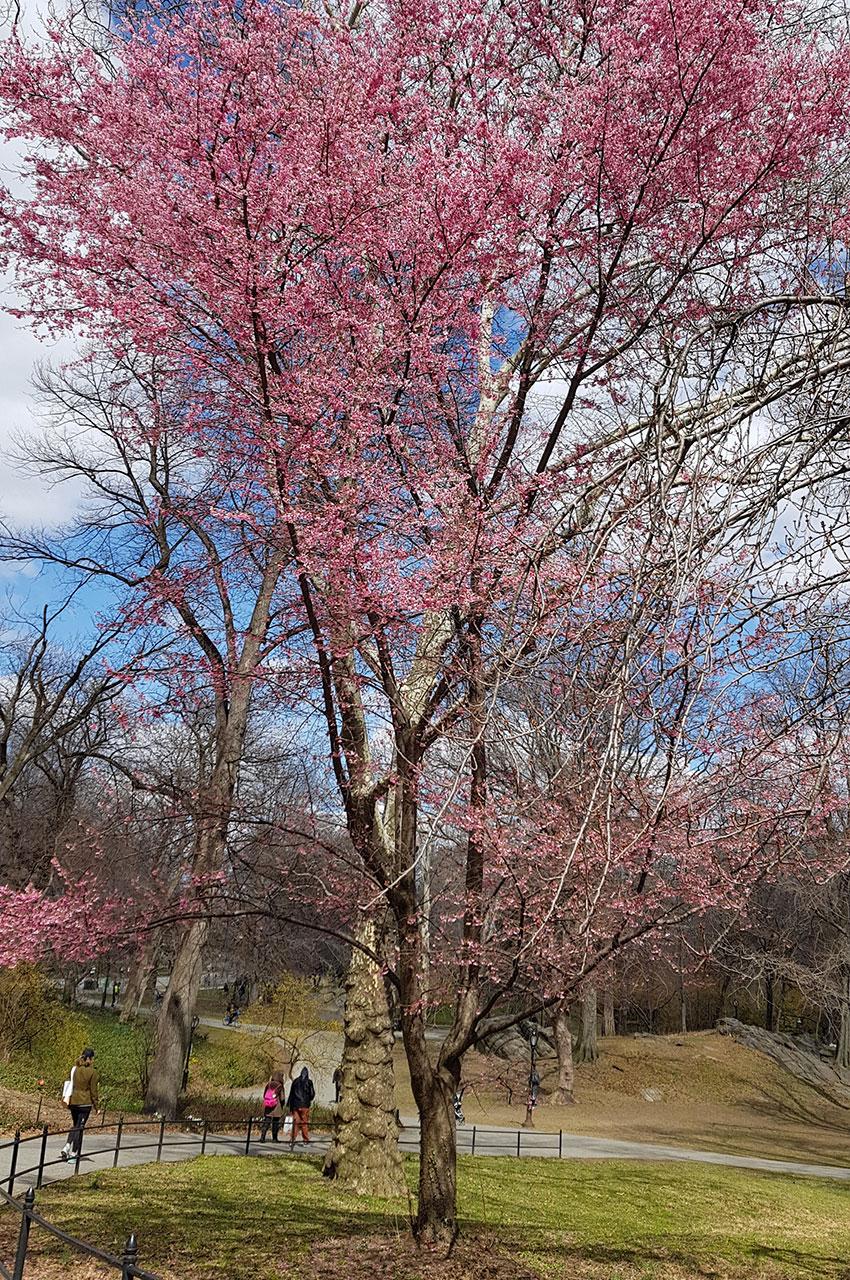 Arbre en fleurs à Central Park
