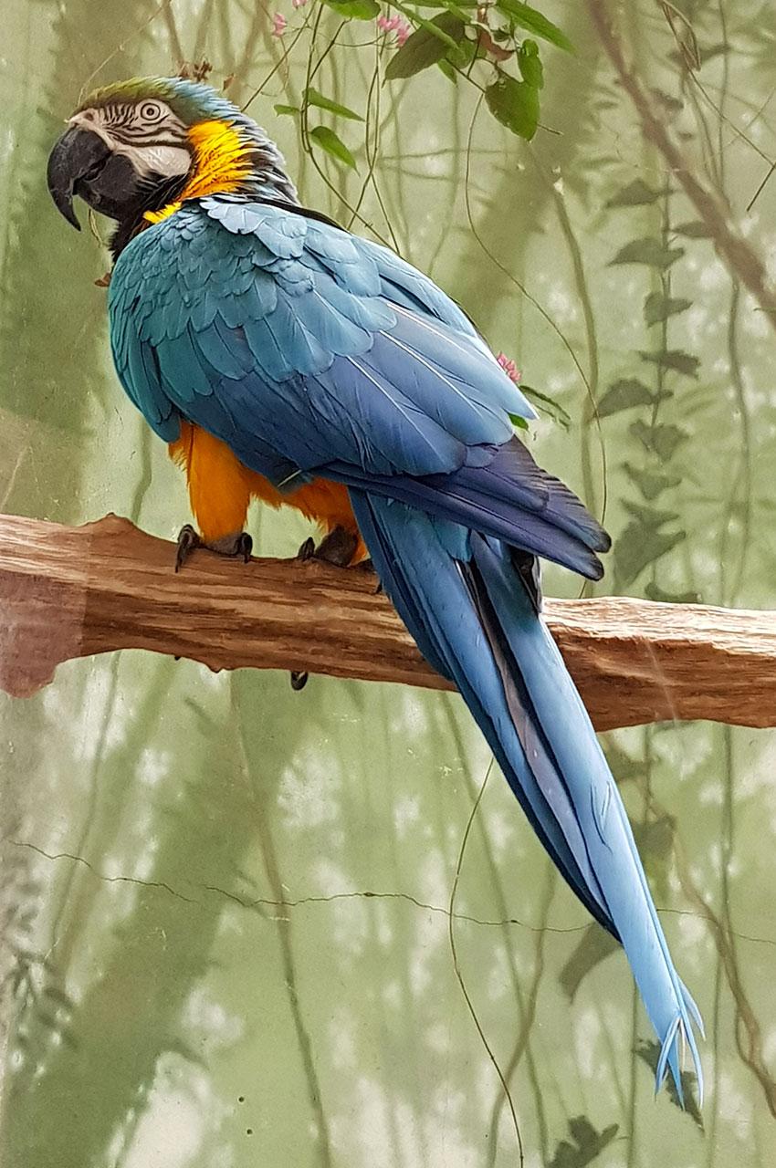 Magnifique ara bleu et jaune