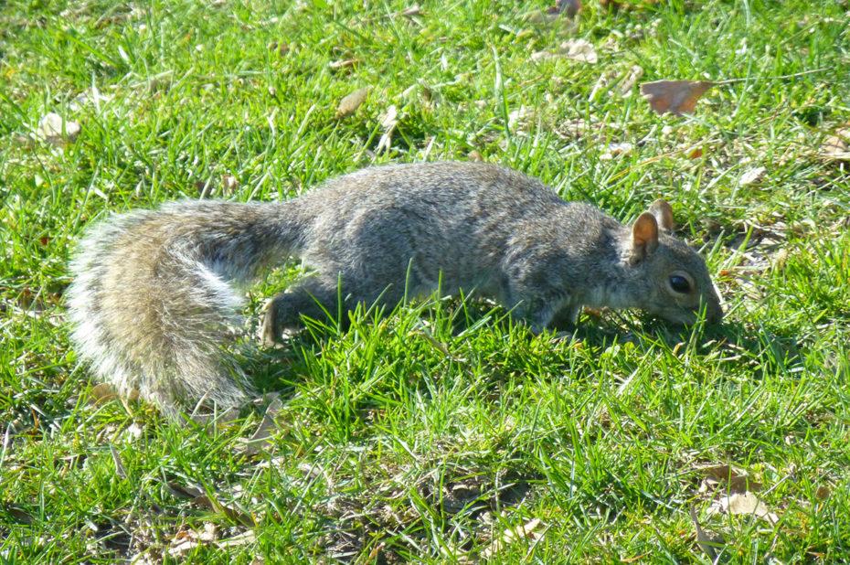 Un écureuil dans une pelouse