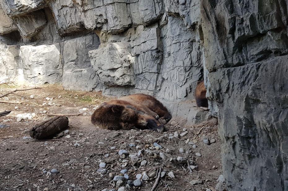 Dans l'enclos des grizzlis