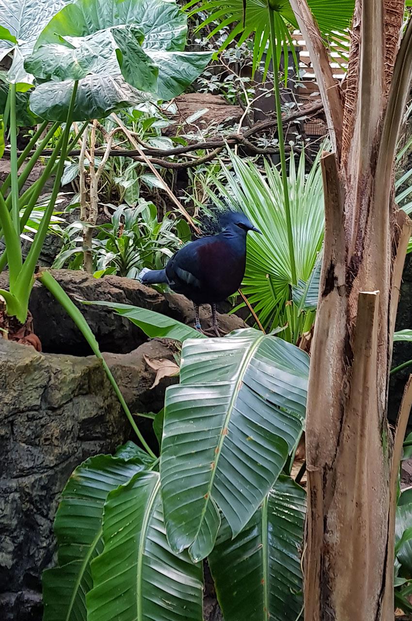 Goura de Victoria (oiseau bleu)
