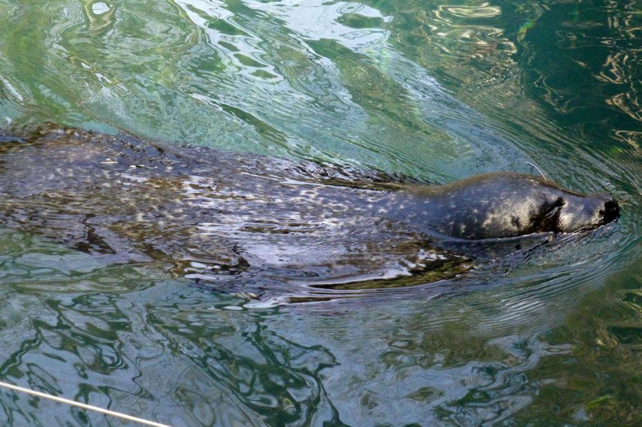 L'otarie est un animal bon nageur (jusqu'à 40 km/h)