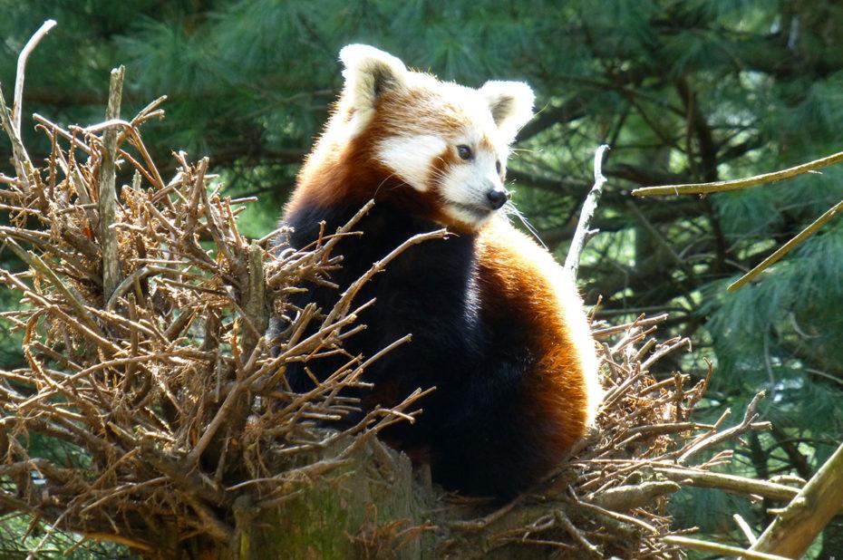 Un panda roux se réchauffe sous les rayons du soleil de début avril