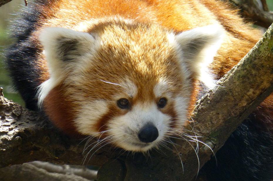 Un petit panda roux très curieux
