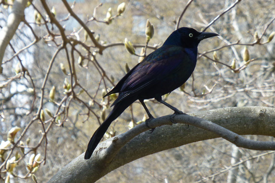 Quiscale à longue queue (oiseau)