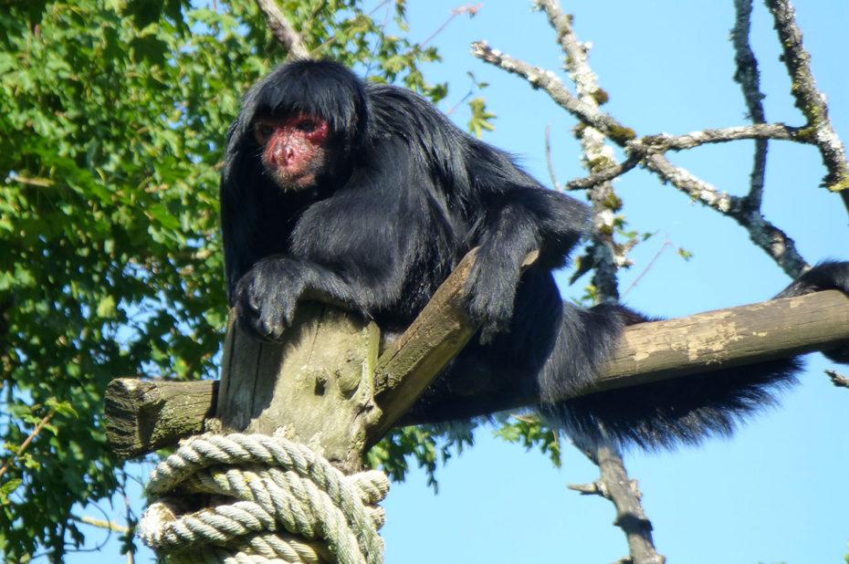 Atèle à face rouge, singe habitant la cime des arbres