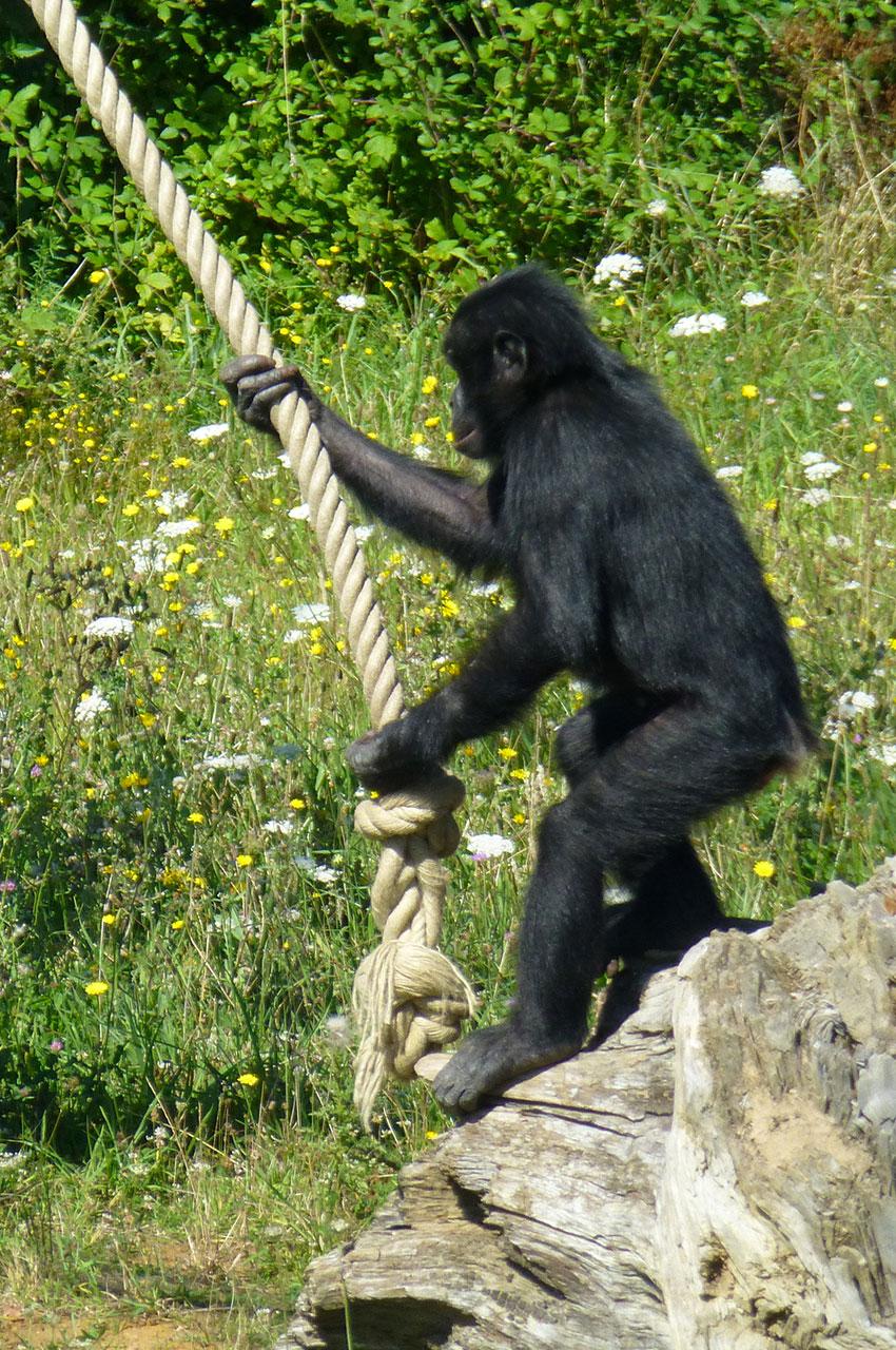 Un bonobo utile la corde pour se balancer