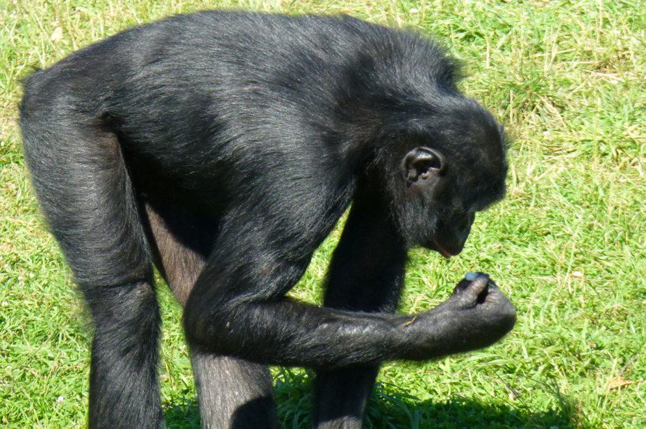 Un bonobo étudie un caillou