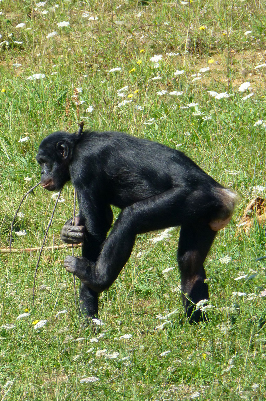 Les bonobos disposent de plus d'un hectare à la Vallée des Singes