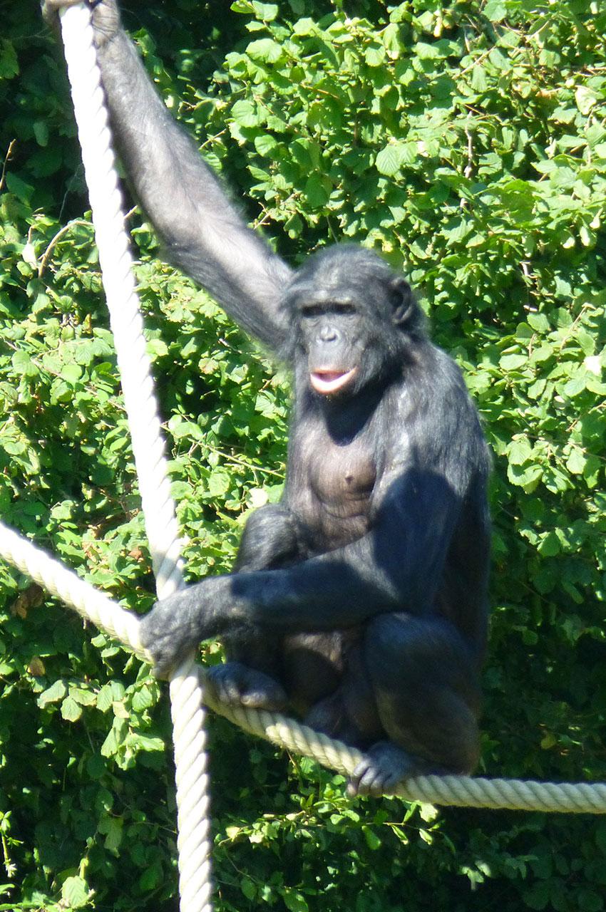 Les bonobos sont originaires des forêts du Congo