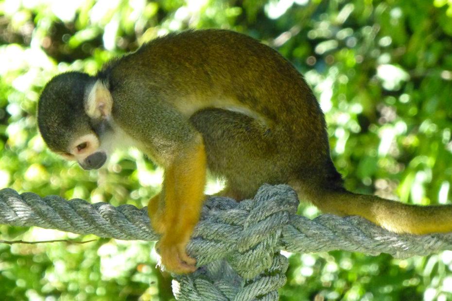 Saïmiri, singe-écureuil originaire d'Amérique du Sud