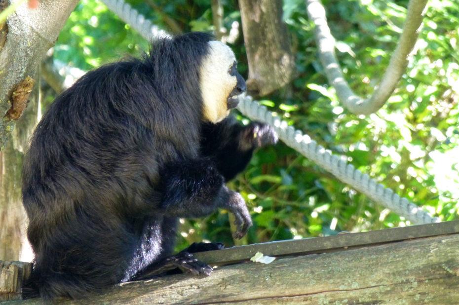 Le saki mâle adulte est noir avec un masque blanc