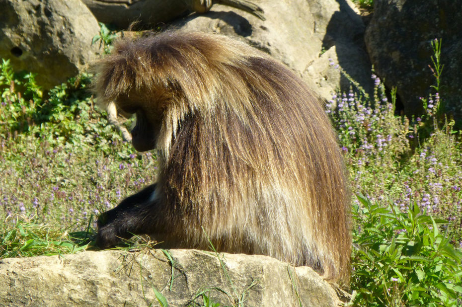 Un gélada mâle, singe originaire d'Éthiopie
